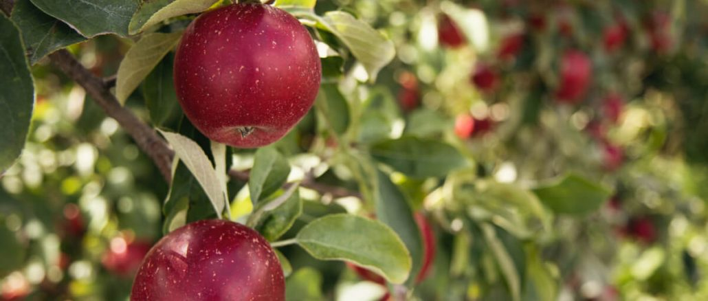 Beskär dina äppelträd